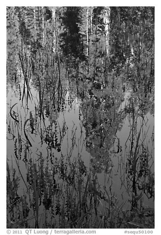 Sequoia trees reflected in pond, Huckleberry Meadow. Sequoia National Park (black and white)