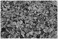 Close-up of forest floor with flowers, shamrocks, and cones. Sequoia National Park, California, USA. (black and white)