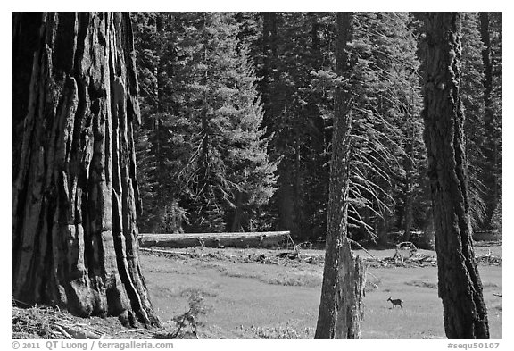 Huckleberry Meadow, sequoia and deer. Sequoia National Park (black and white)