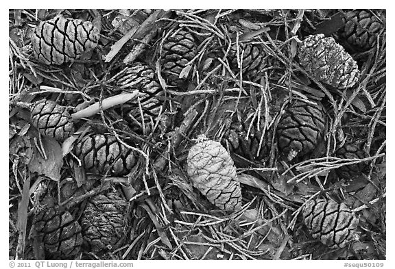 Close-up of cones of the sequoia trees. Sequoia National Park (black and white)