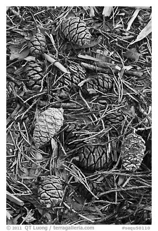 Close-up of fallen sequoia cones. Sequoia National Park (black and white)