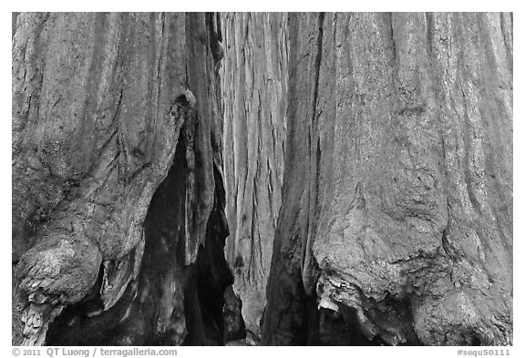 Bark at the base of sequoia group. Sequoia National Park (black and white)
