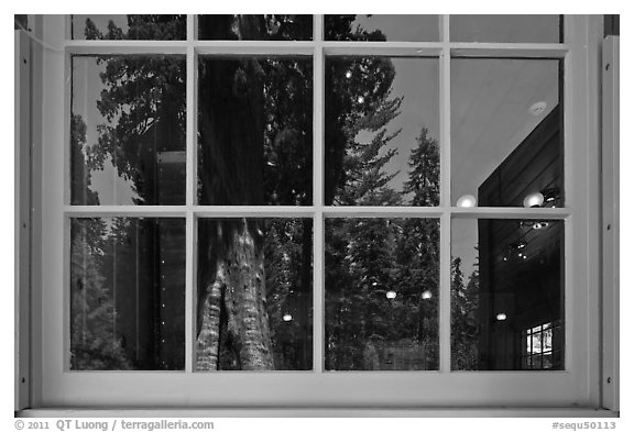 Sentinel tree, Giant Forest Museum window reflexion. Sequoia National Park (black and white)
