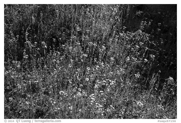Carpet of yellow and white flowers. Sequoia National Park (black and white)