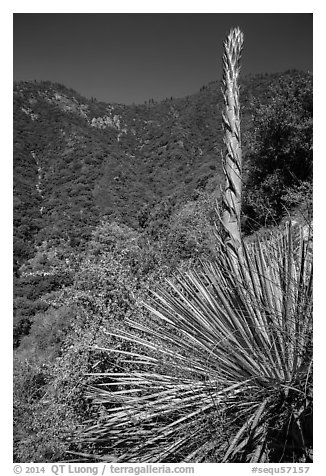 Yucca stem and forested slopes. Sequoia National Park (black and white)