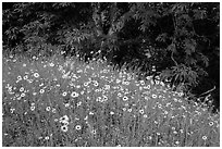 Carpet of yellow flowers and oak trees. Sequoia National Park ( black and white)