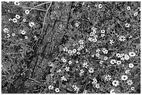 Ground view with yellow wildflowers and fallen oak branch. Sequoia National Park ( black and white)