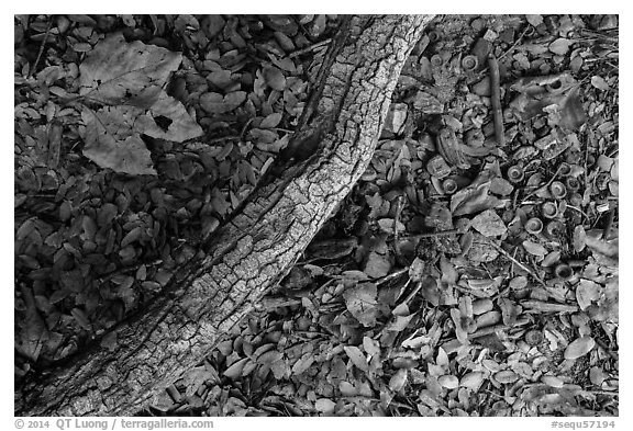 Ground view with branch under oak tree. Sequoia National Park (black and white)