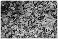 Ground view with fallen acorns. Sequoia National Park ( black and white)