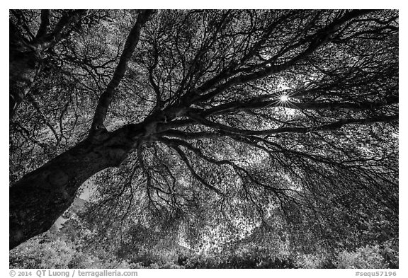 Looking up branches of oak tree in spring and sun. Sequoia National Park (black and white)