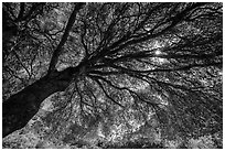 Looking up branches of oak tree in spring and sun. Sequoia National Park ( black and white)