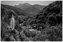 Yucca and Middle Fork of the Kaweah River. Sequoia National Park ( black and white)