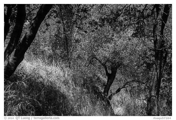 Oak trees and grasses in spring near Ash Peaks. Sequoia National Park (black and white)