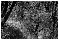 Oak trees and grasses in spring near Ash Peaks. Sequoia National Park ( black and white)
