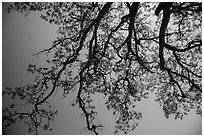 Looking up branches of oak tree with new leaves. Sequoia National Park ( black and white)