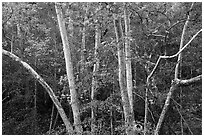 Trees in autumn, foothills. Sequoia National Park ( black and white)