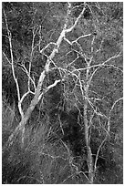 Lightly colored trunks and branches in autumn. Sequoia National Park ( black and white)