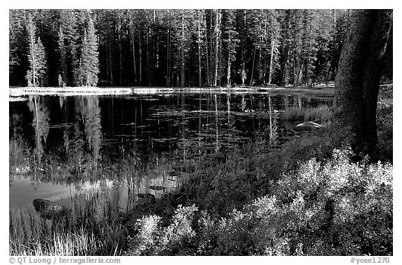 Shrubs in autumn foliage and reflections, Siesta Lake. Yosemite National Park (black and white)