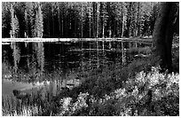 Shrubs in autumn foliage and reflections, Siesta Lake. Yosemite National Park, California, USA. (black and white)