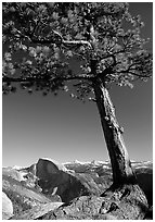 Pine tree and Half-Dome from Yosemite Point, late afternoon. Yosemite National Park ( black and white)