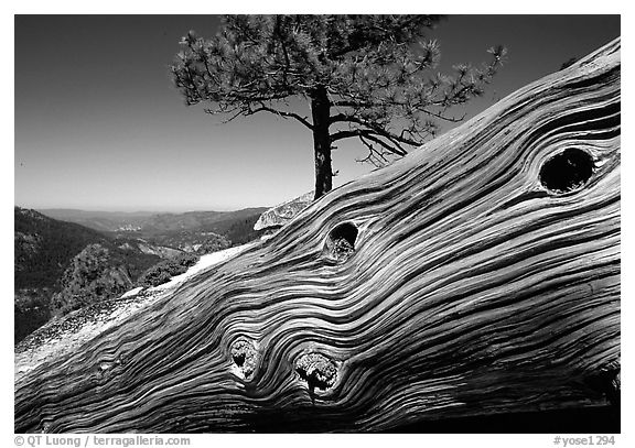 Downed tree on top of El Capitan. Yosemite National Park (black and white)