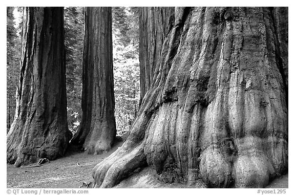 Giant Sequoias (Sequoiadendron giganteum) in Mariposa Grove. Yosemite National Park (black and white)