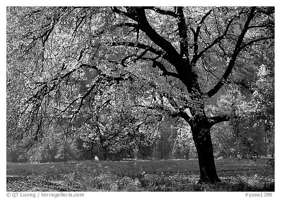 Elm Tree in autumn, Cook meadow. Yosemite National Park (black and white)
