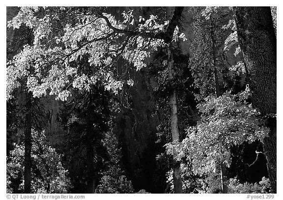 Oaks in autumn in El Capitan meadow. Yosemite National Park (black and white)