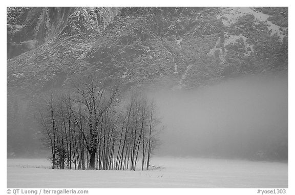 Trees in fog in meadows, early morning. Yosemite National Park (black and white)