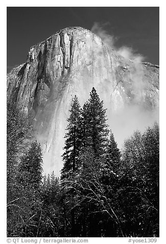 Pine trees and fog, looking up El Capitan. Yosemite National Park (black and white)