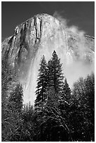Pine trees and fog, looking up El Capitan. Yosemite National Park, California, USA. (black and white)