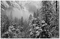 Forest with snow and fog near Vernal Falls. Yosemite National Park ( black and white)