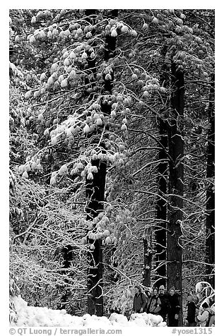 Hikers and snowy trees. Yosemite National Park (black and white)