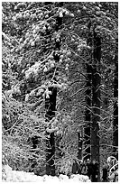 Hikers and snowy trees. Yosemite National Park, California, USA. (black and white)