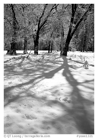 Shadows on snow of oaks trees, El Capitan meadows, winter. Yosemite National Park (black and white)