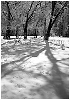 Shadows on snow of oaks trees, El Capitan meadows, winter. Yosemite National Park ( black and white)