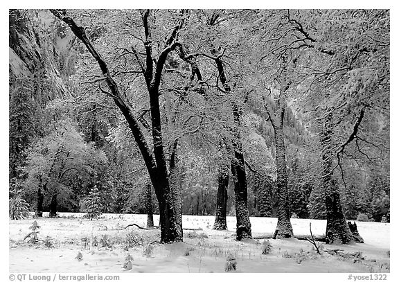 Black Oaks with snow on branches, El Capitan meadows, winter. Yosemite National Park (black and white)