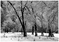 Black Oaks with snow on branches, El Capitan meadows, winter. Yosemite National Park, California, USA. (black and white)