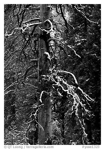 Trunk and snow-covered branches of tree in El Capitan meadow. Yosemite National Park (black and white)