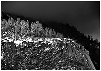 Pine trees on Valley rim, winter. Yosemite National Park, California, USA. (black and white)