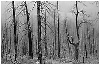 Burned forest in winter along  Big Oak Flat Road. Yosemite National Park, California, USA. (black and white)