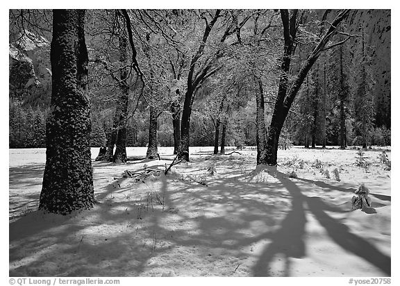 Black Oaks and shadows in El Capitan Meadow in winter. Yosemite National Park (black and white)