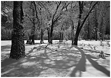 Black Oaks and shadows in El Capitan Meadow in winter. Yosemite National Park, California, USA. (black and white)