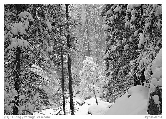 Snowy trees in winter. Yosemite National Park (black and white)