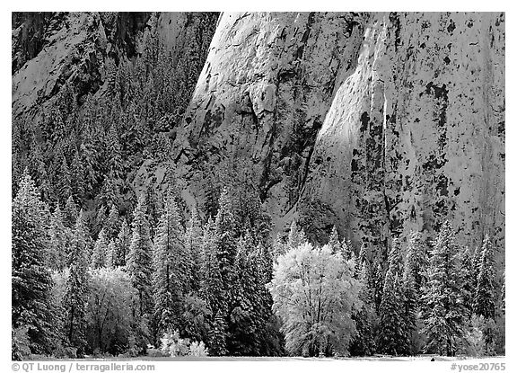 Trees and cliff with fresh snow, Cathedral Rocks. Yosemite National Park (black and white)