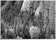Trees and cliff with fresh snow, Cathedral Rocks. Yosemite National Park ( black and white)