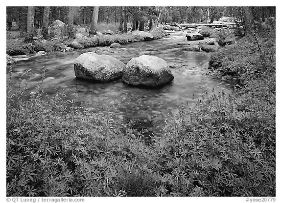Lupine, boulders, Tuolumne River in forest. Yosemite National Park (black and white)