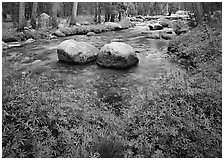 Lupine, boulders, Tuolumne River in forest. Yosemite National Park, California, USA. (black and white)