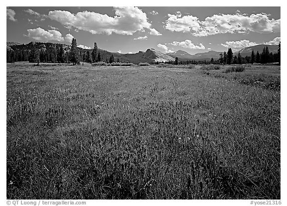 Summer wildflowers and Lembert Dome, Tuolumne Meadows. Yosemite National Park (black and white)
