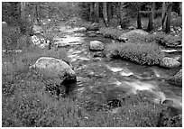 Stream and wildflowers, Tuolunme Meadows. Yosemite National Park, California, USA. (black and white)